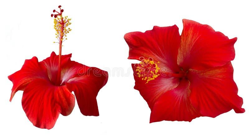 Fleurs rouges de ketmie photographie stock libre de droits