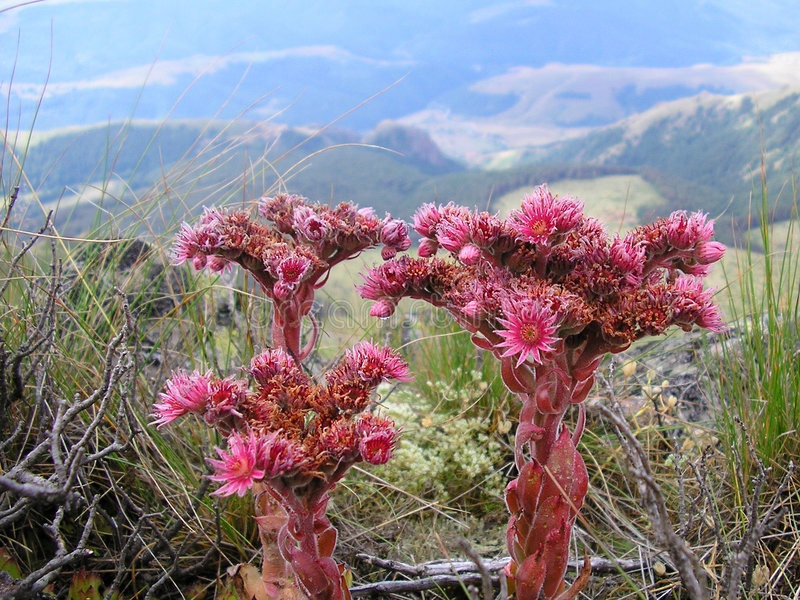 Fleurs rouges de montagne, horizontal de montagne photographie stock libre de droits