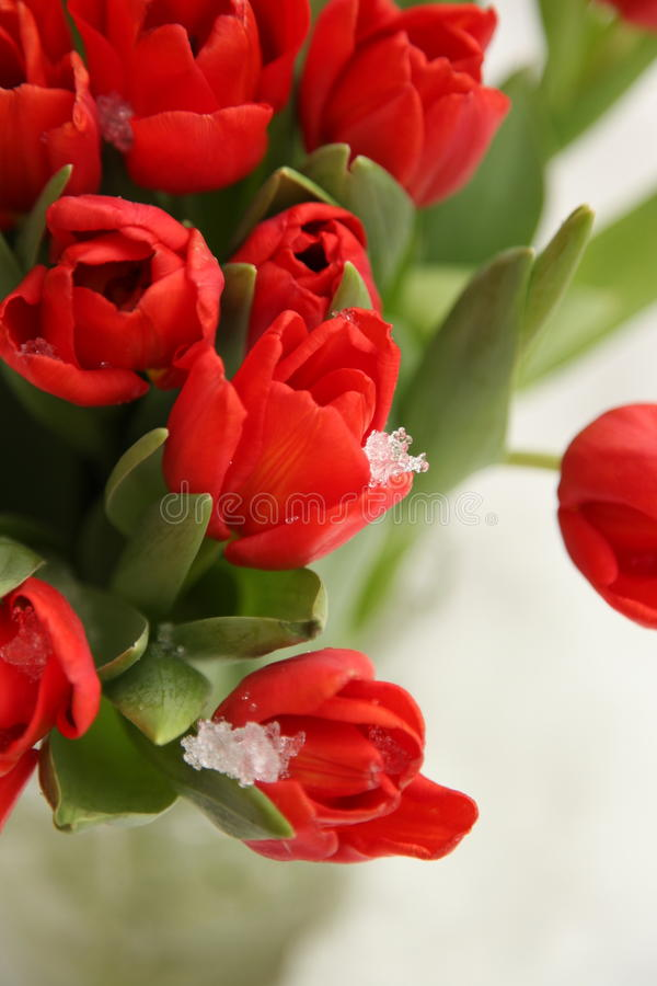 Fleurs rouges de nature de ressort de tulipes photographie stock libre de droits