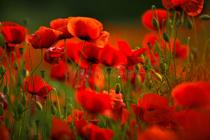 Fleurs rouges de pavot photo stock