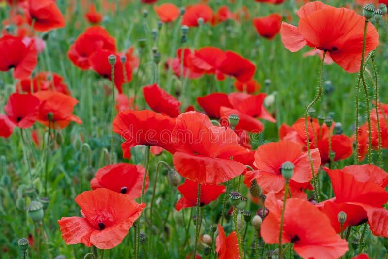 Fleurs rouges de pavot images stock