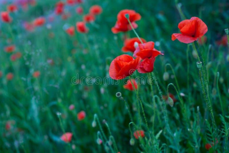 Fleurs rouges de pavot photographie stock libre de droits