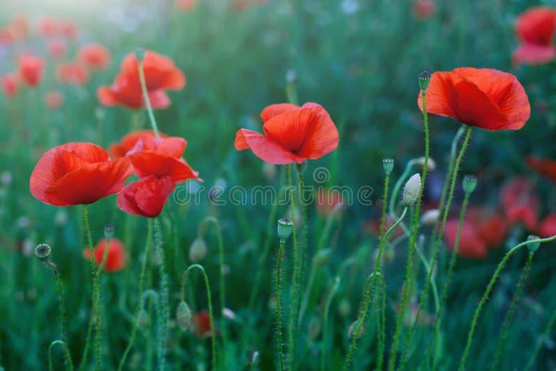 Fleurs rouges de pavot photographie stock