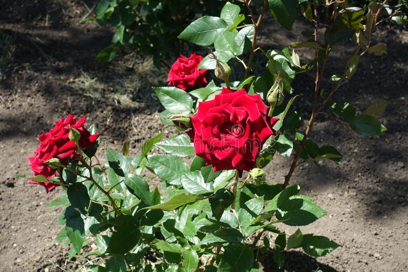 Fleurs rouges de rose dans le jardin photos libres de droits