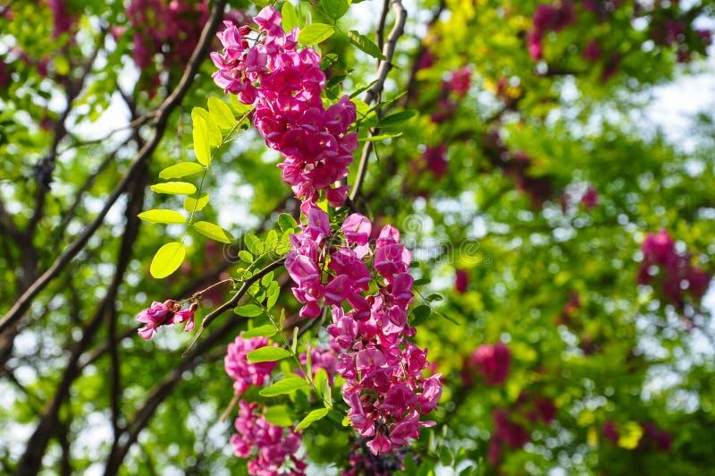Fleurs rouges de sauterelle photo libre de droits