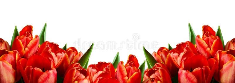 Fleurs rouges de tulipe dans une frontière photo stock