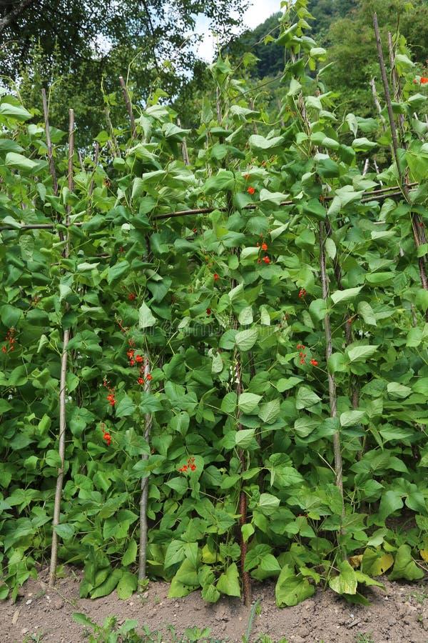 Fleurs rouges des plantes de haricot dans le potager en AR accidentée photos stock