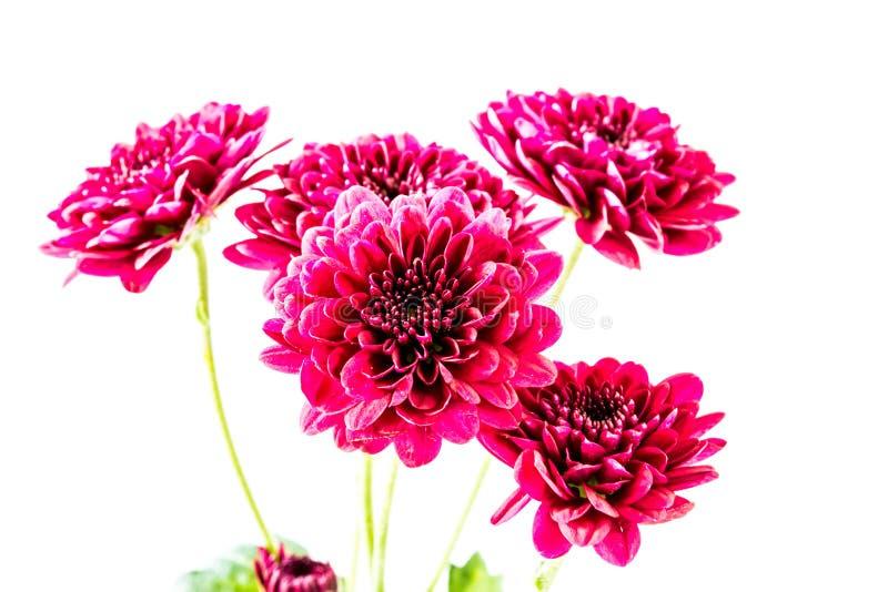 Fleurs rouges en gros plan de dahlia image stock