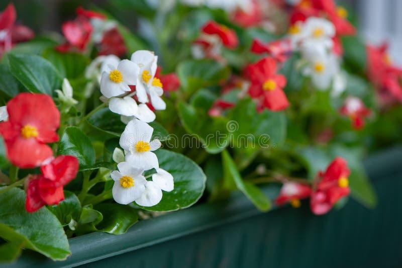 Fleurs rouges et blanches des bégonias dans un plan rapproché de boîte de fleur, thème de la plantation sur le balcon, photos libres de droits