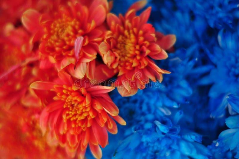Fleurs rouges et bleues images libres de droits