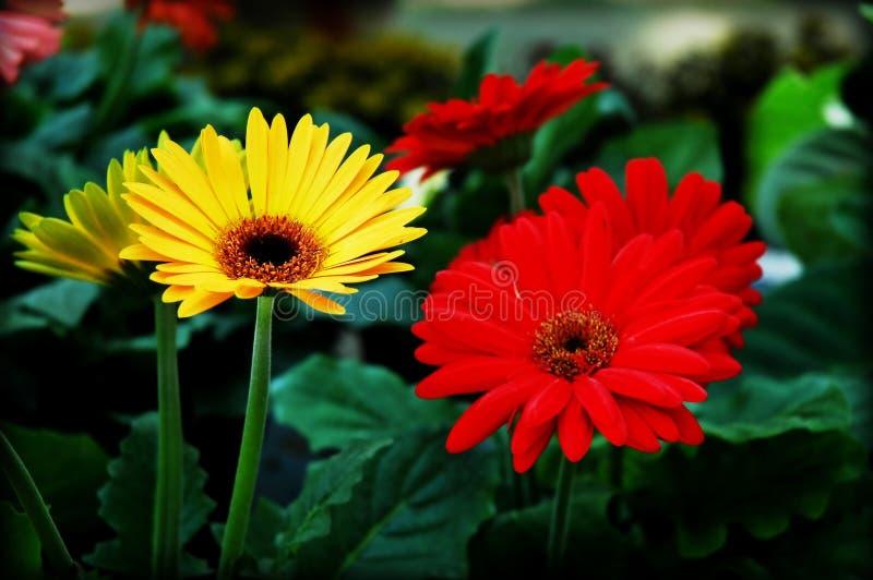 Fleurs rouges et jaunes photographie stock libre de droits
