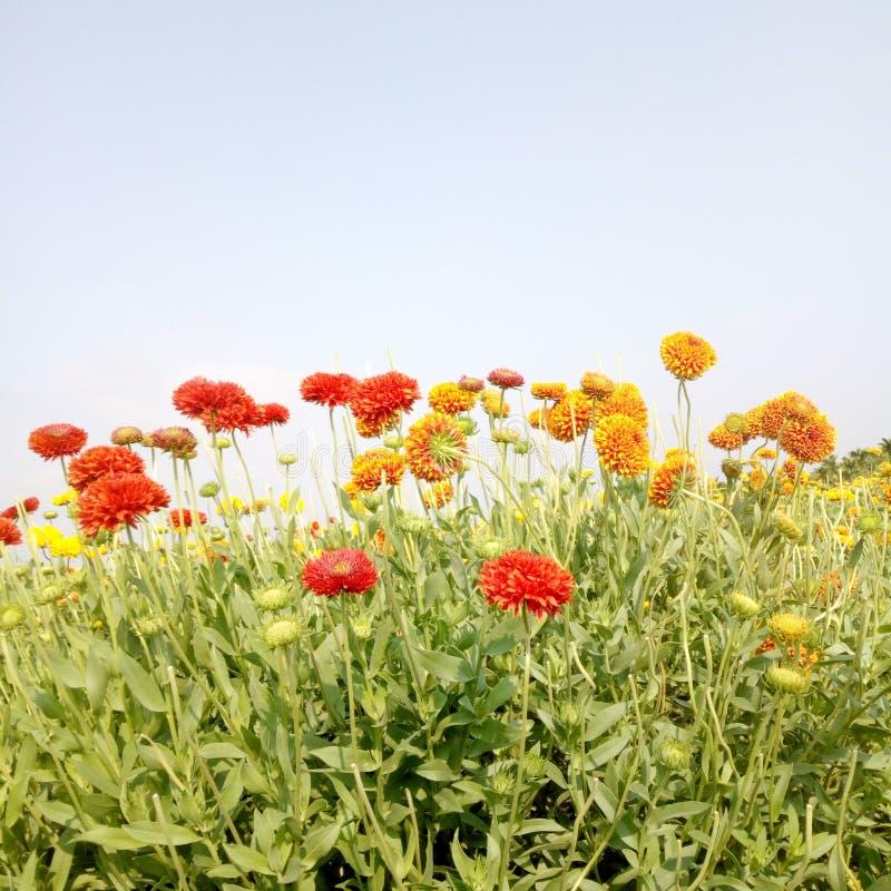 Fleurs rouges et oranges de galata de couleur dans classé et feuilles vertes images libres de droits