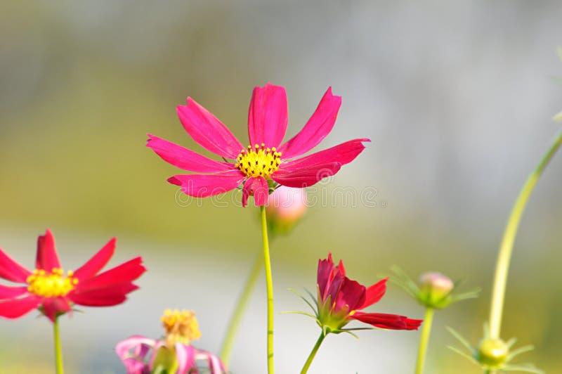 Fleurs rouges et roses de cosmos image libre de droits