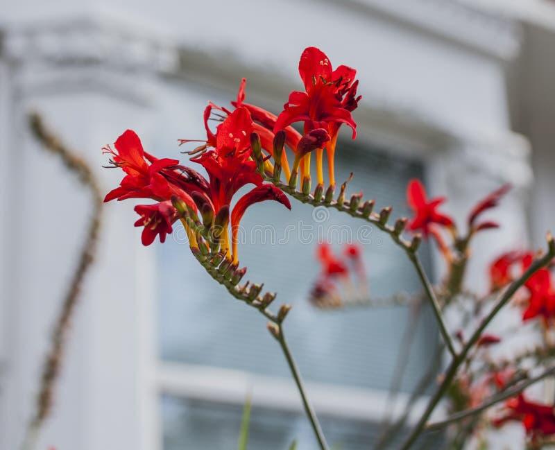 Fleurs rouges et une maison blanche - rues de Londres photographie stock