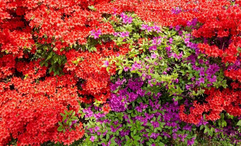 Fleurs rouges, lilas un fond idéal photographie stock libre de droits