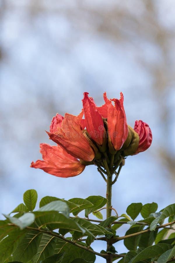 Fleurs rouges oranges sur un campanulata africain de Spathodea d'arbre de tulipe photographie stock