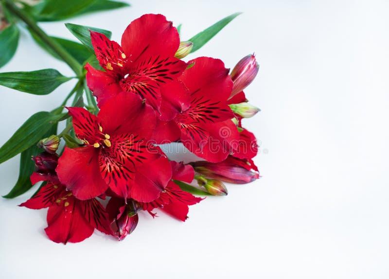 Fleurs rouges sur le fond blanc Bouquet des fleurs d'Alstroemeria Lis p?ruvien image libre de droits