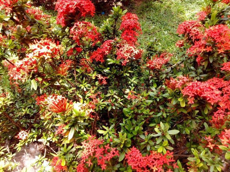 Fleurs rouges sur les feuilles vertes photos libres de droits