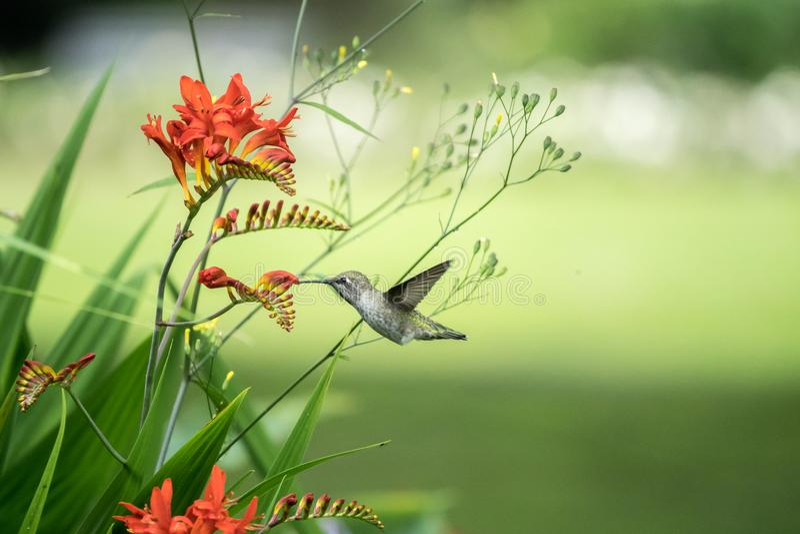 Fleurs Rufous de colibri et de Crocosmia image stock
