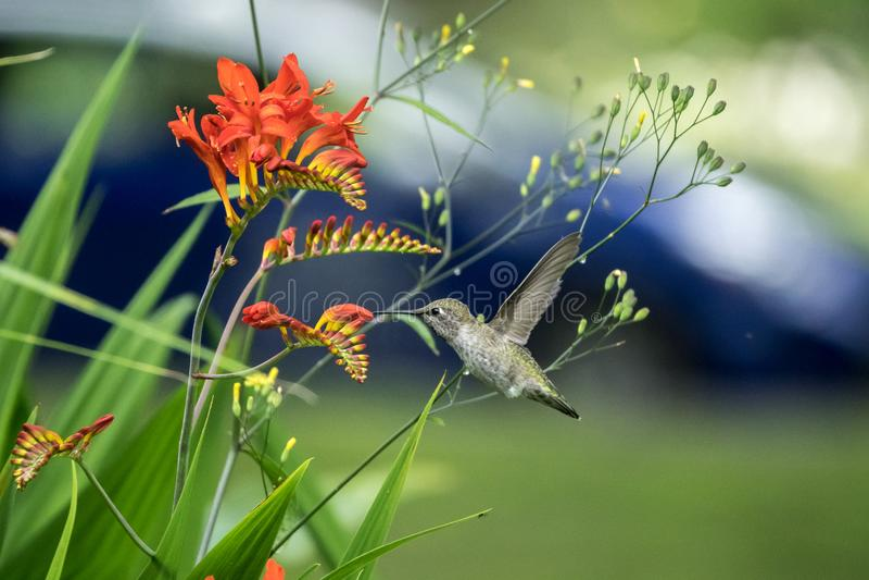 Fleurs Rufous de colibri et de Crocosmia photo libre de droits