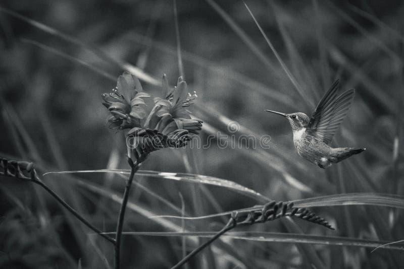 Fleurs Rufous de colibri et de Crocosmia avec les milieux noirs et blancs photos stock