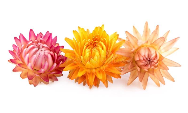 Fleurs sèches éternelles ou Straw Flowers sur le blanc photos stock