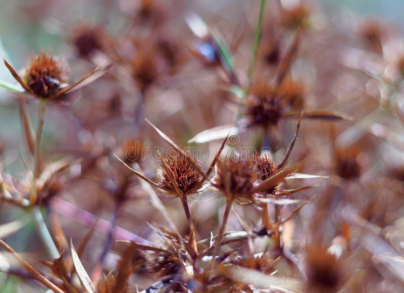 Fleurs sèches d'un tête bleue dans le domaine La couleur orange intense de l'inflorescence indique la maturité des graines fin photos stock