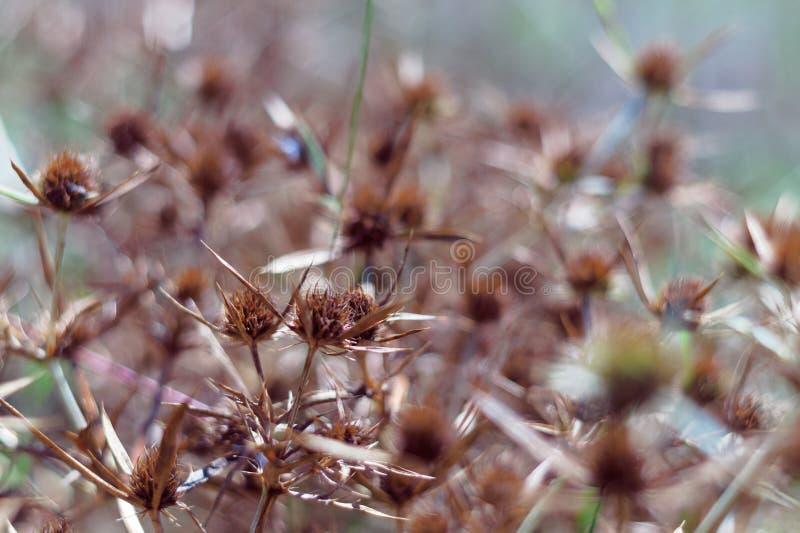 Fleurs sèches d'un tête bleue dans le domaine La couleur orange intense de l'inflorescence indique la maturité des graines fin images stock
