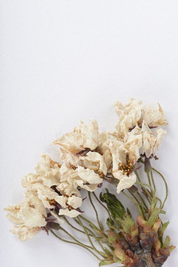 Fleurs sèches de cerise images stock