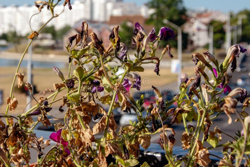 Fleurs sèches de pétunia sur le fond de la ville, été chaud photos libres de droits