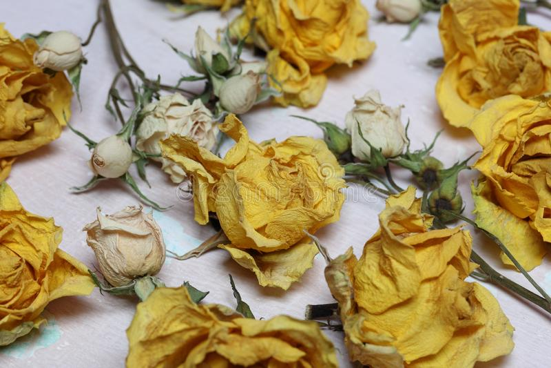 Fleurs sèches des roses jaunes et blanches photographie stock