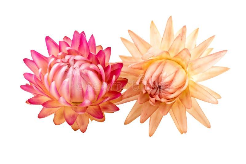 Fleurs sèches Straw Flowers ou éternel d'isolement sur le fond blanc photo stock