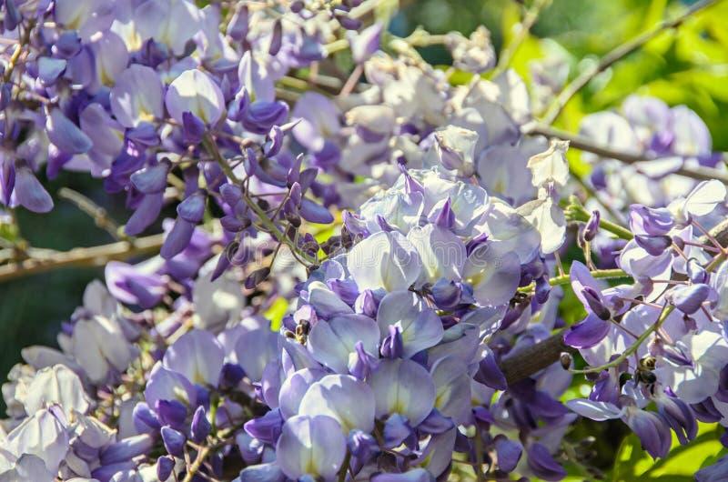 Fleurs s'élevantes de buisson violet mauve de glycine, fin extérieure  photo libre de droits