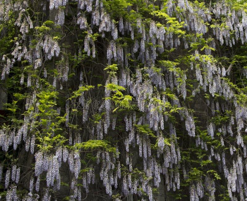 Fleurs s'élevantes de buisson violet mauve de glycine, fin extérieure, famille de Fabaceae photo stock