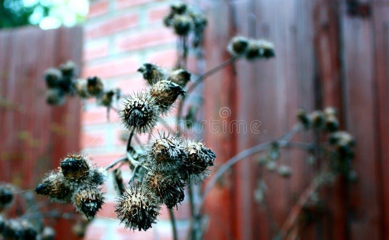 Fleurs s?ches de bardane dans la fin en retard d'automne vers le haut de la photo photos libres de droits