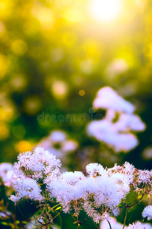 Fleurs sauvages blanches photos stock