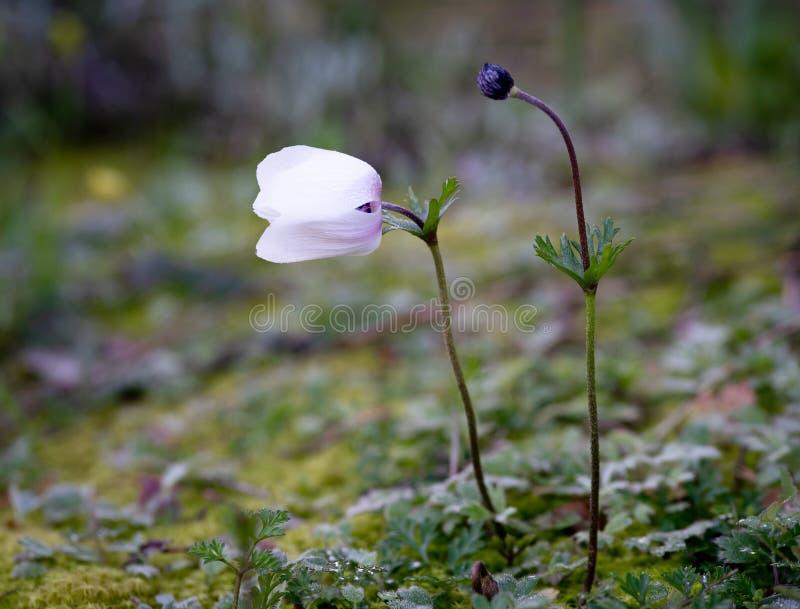 Fleurs sauvages d'Anemone Coronaria ou de souci espagnol de nature de la Chypre photos stock