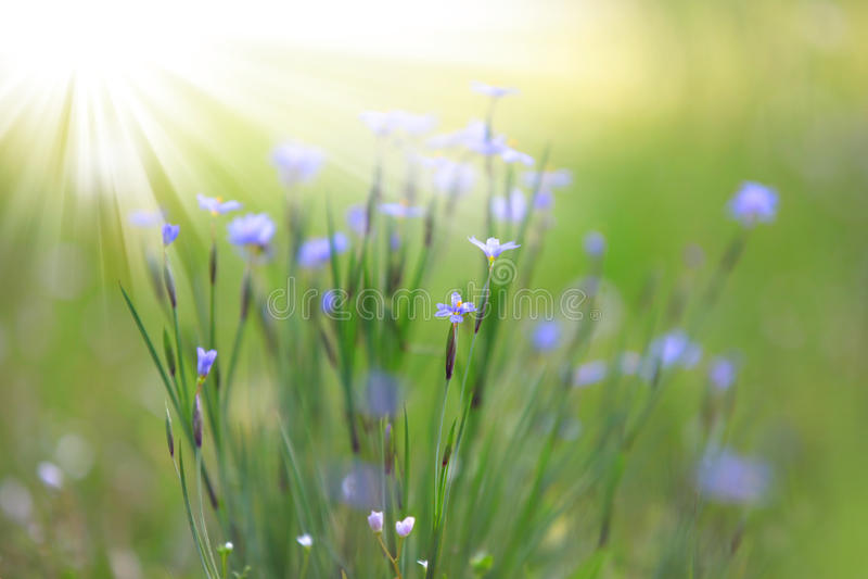 Fleurs sauvages dans l'herbe photos stock