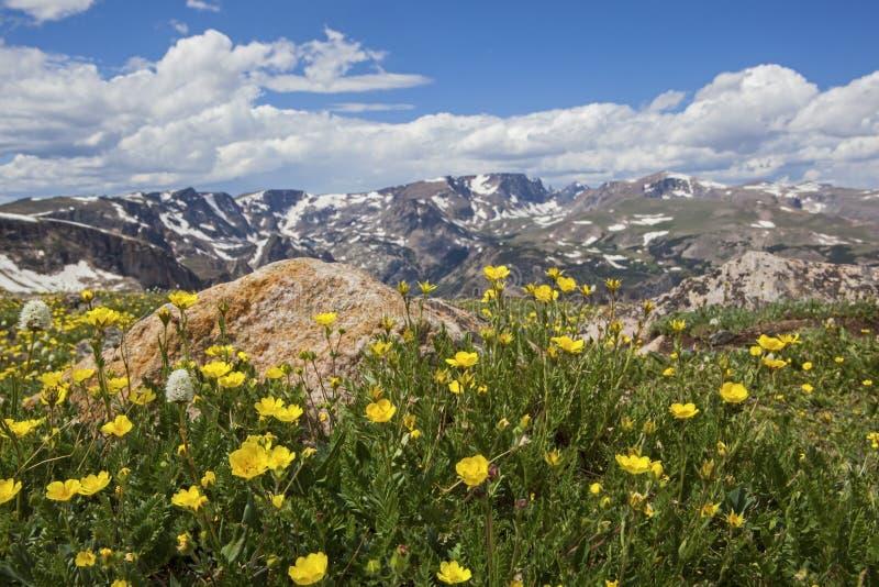 Fleurs sauvages dans le Beartooths image libre de droits