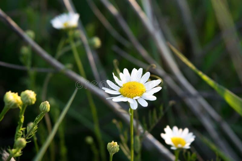 Fleurs sauvages dans le domaine entouré avec les mauvaises herbes et l'herbe sèche photos stock