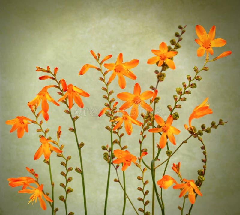 Fleurs sauvages de crocosmia photos libres de droits