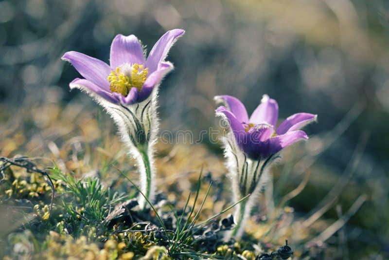 Fleurs sauvages de Pasque fleurissant dans le printemps photo libre de droits