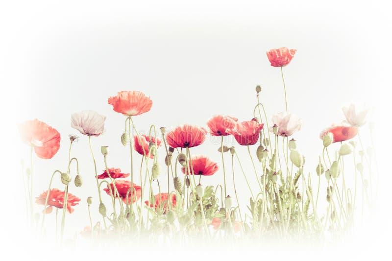 Fleurs sauvages de pavot sur le pré d'été Fond floral photo libre de droits