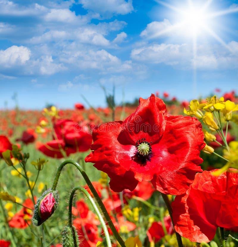 Fleurs sauvages de pavots images stock