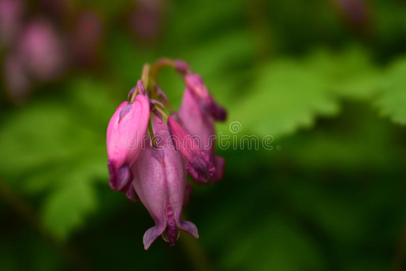 Fleurs sauvages de rose de forêt photographie stock