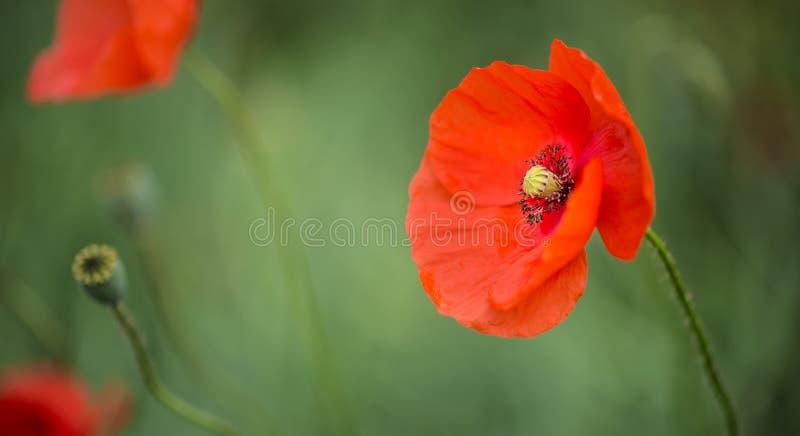 Fleurs sauvages en gros plan de pavot dans un domaine photos stock
