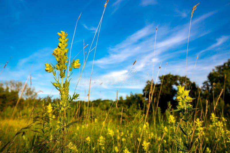 Fleurs sauvages en steppe images stock