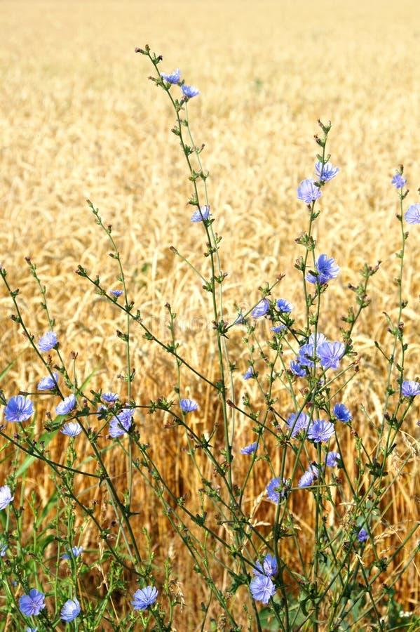 Fleurs sauvages et blé photos libres de droits