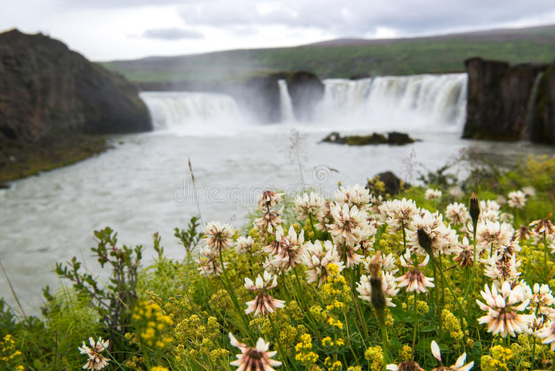 Fleurs sauvages et Godafoss sur le fond, Islande images stock
