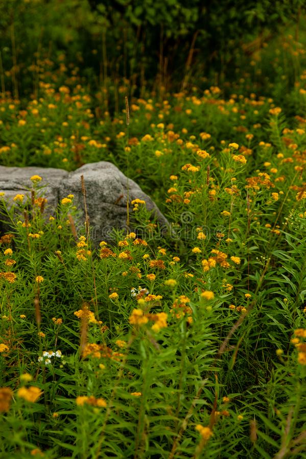 Fleurs sauvages jaunes - Blooms de printemps - Dolly Sods - Virginie-Occidentale image libre de droits